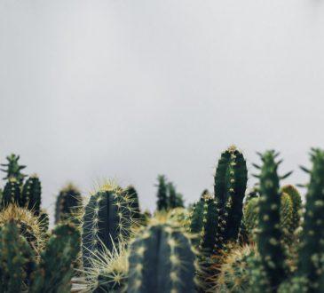 Welke cactus heb ik nodig in huis?