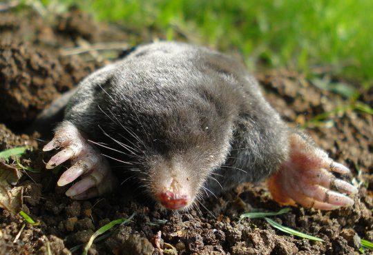 Mollen, de ergste nachtmerrie van iedere tuinliefhebber